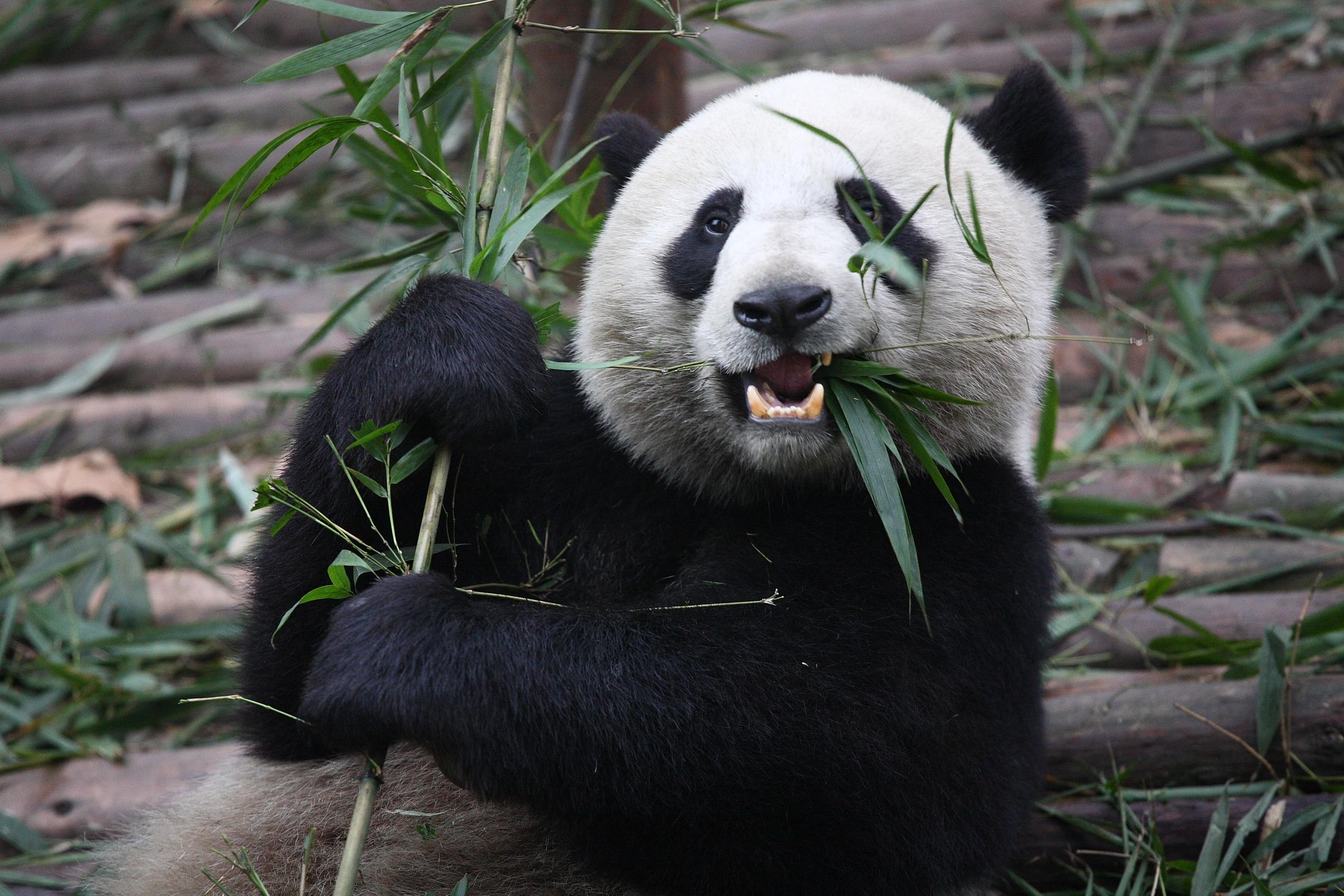 Giant_Panda_Eating.jpg