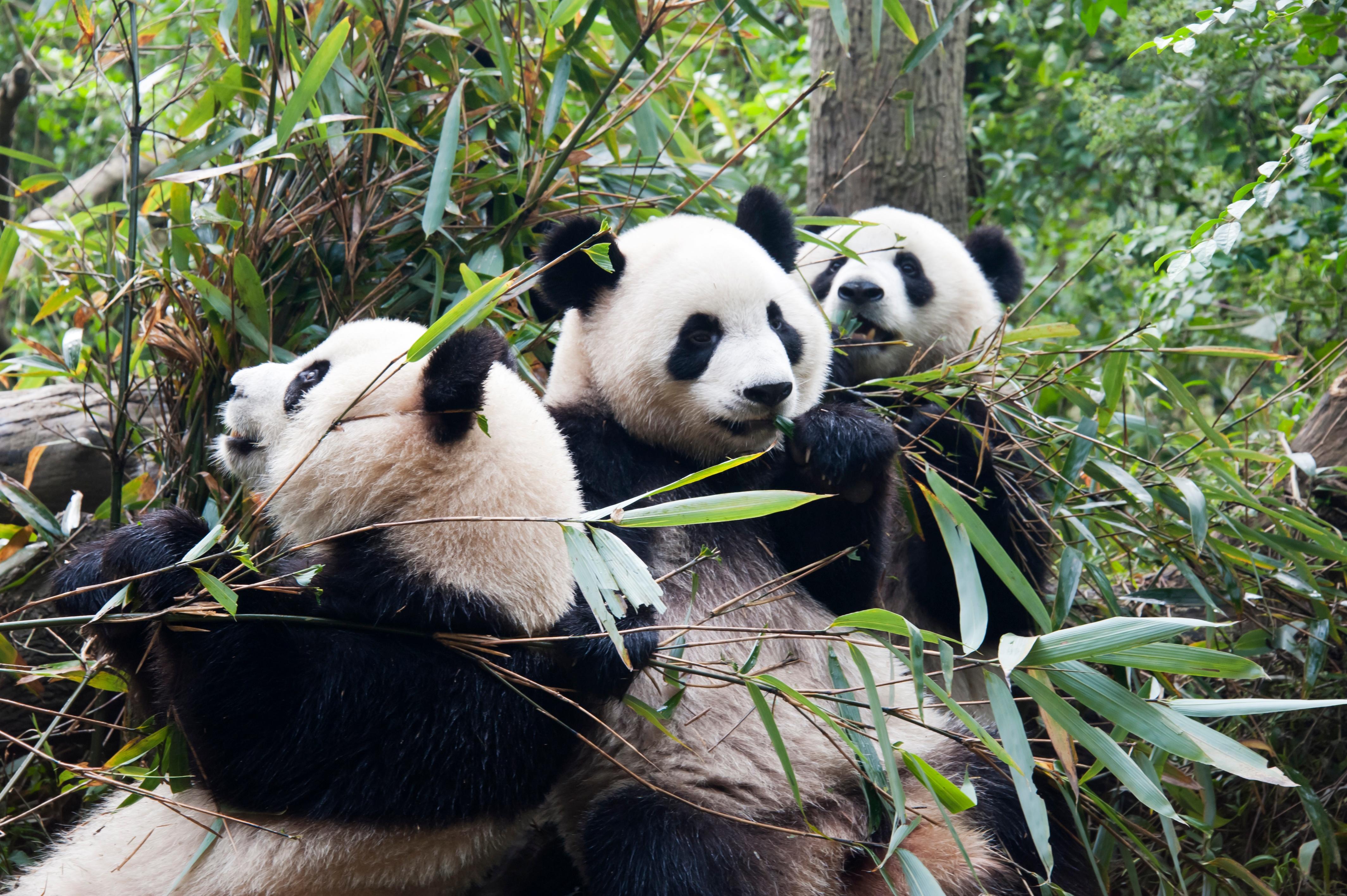 Pandas in china.jpg