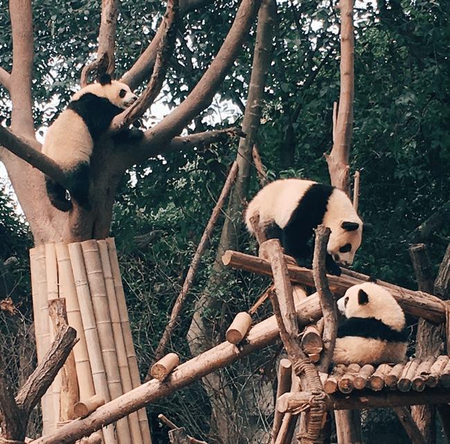 Giant Pandas in China