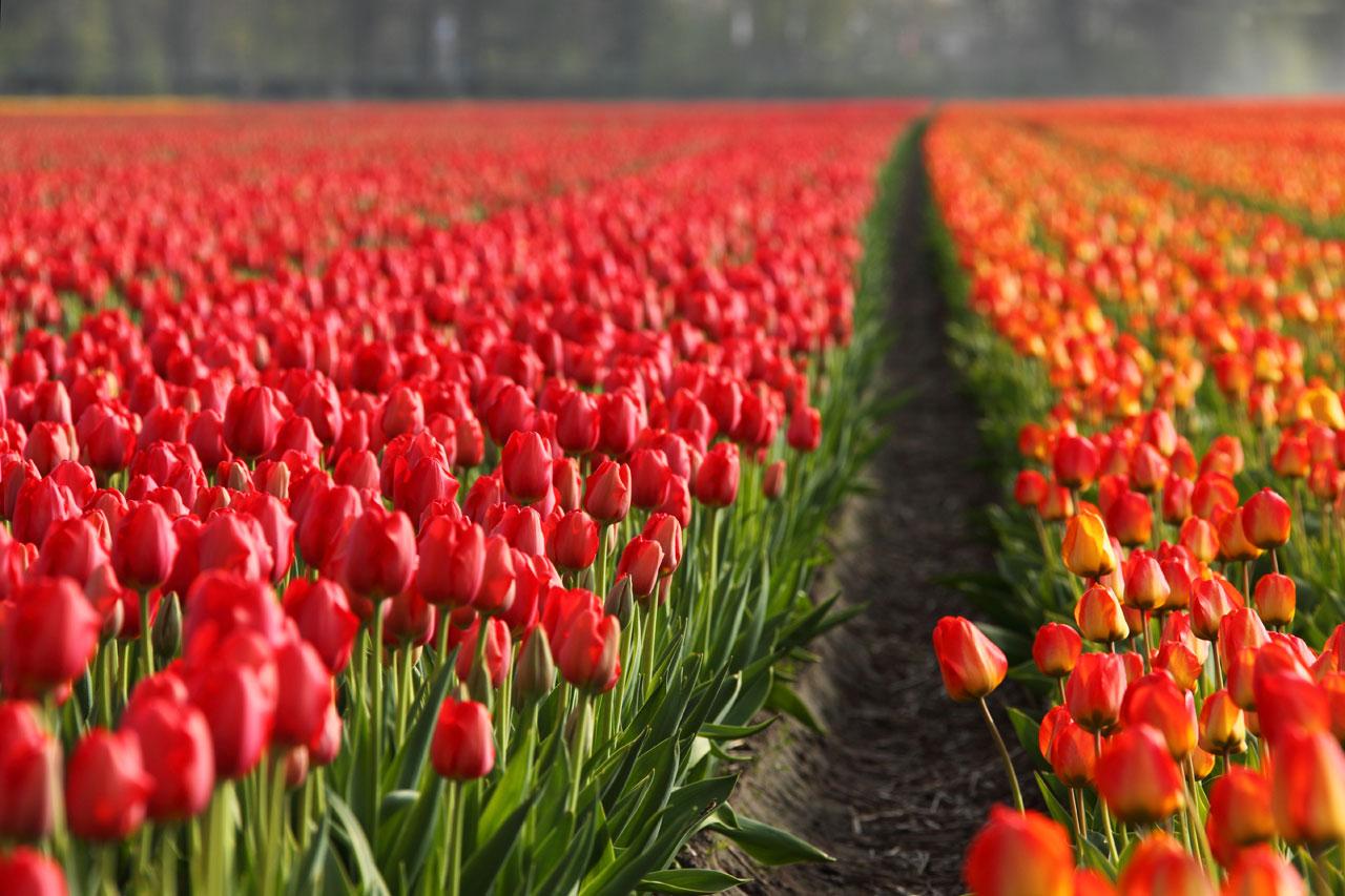 Tulips in Amsterdam-2.jpg