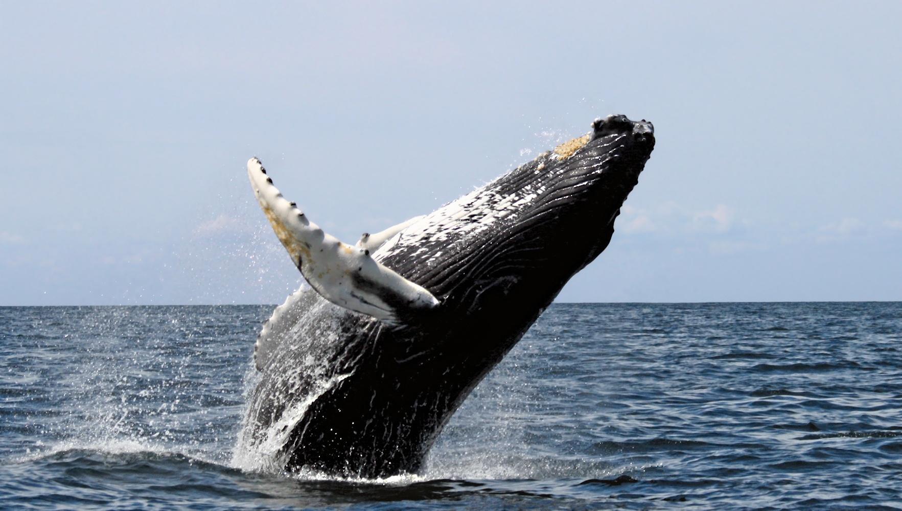 humpback_whale_mexico.jpg