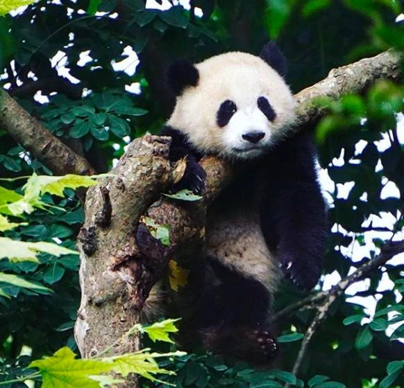 ILP Adventure - Pandas