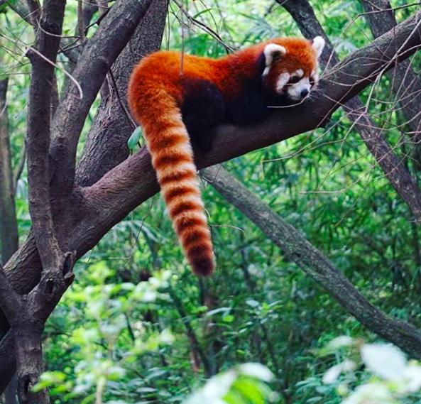 ILP Adventure Red Panda